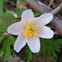 Wood anemone/Podlesna vetrnica