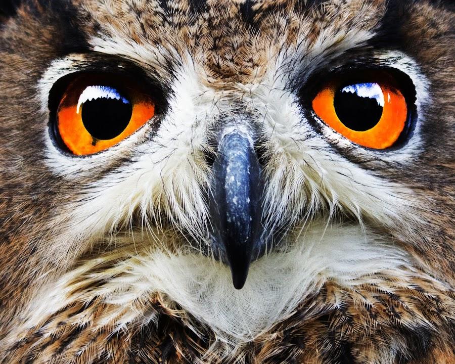 Edinburgh Eye-Line by Ian Nicol - Animals Birds ( birds of prey, edinburgh, european eagle owl, eye-lights, birds up close,  )