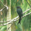 White-bellied Drongo