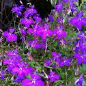 Lobelia 'Purple Star'