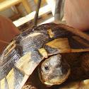 Hermann's Tortoise / Obična čančara