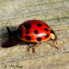 Multicolred Asian Ladybeetle