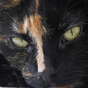 Charlotte by Michel Arel - Animals - Cats Portraits ( cat eyes, lumix, cat portrait, charlotte, chat, chatte )