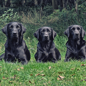 Black Labrador Gun Dogs by Graham Sivills FBCS - Animals - Dogs Portraits ( sitting, gun dog, working dogs, gun dogs, three, trio, black lab, labrador, black )