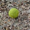 Osage-orange, hedge-apple, Horse-apple, Bois d'arc fruit