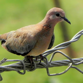 Dove by Ravi Prakash - Animals Birds ( bird, peace, india, brown, dove )