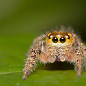 Horned Jumping spider Female