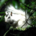 White Eastern Gray Squirrel (leucistic)