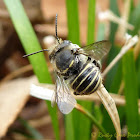 African Carder bee