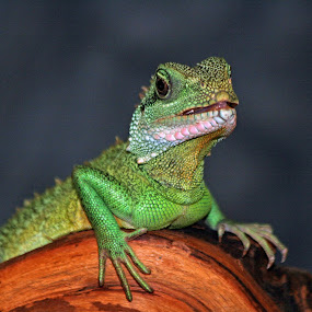 by Jeffrey Sutain - Animals Reptiles (  )
