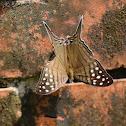 Spot-banded Daggerwing