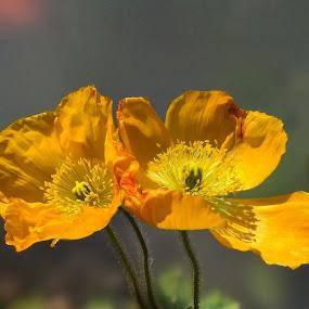 California Yellow by Ilona Stefan - Flowers Flowers in the Wild (  )