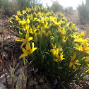 narrowleaf mock goldenweed
