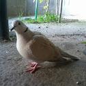 Tortola de collar (Barbary Dove)