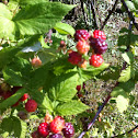 Naturalized Black Raspberry