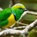 Golden-browed chlorophonia. Rey de rualdo. Macho / Male. Noreste de Fraijanes, Alajuela. Costa Rica. 04/2014