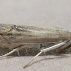 Bluegrass Webworm Moth