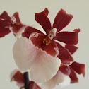 Miltonidium Orchid