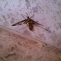 Tiger-Striped Clearwing Moth