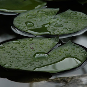 Lotus after rain by Andrea Tomašević - Nature Up Close Natural Waterdrops ( lotus garden rain waterdrops pond,  )