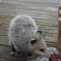 Virginia opossum