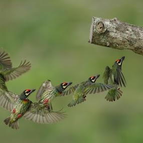 Sequential Flight Shots of Coppersmith Barbet by Ken Goh - Animals Birds