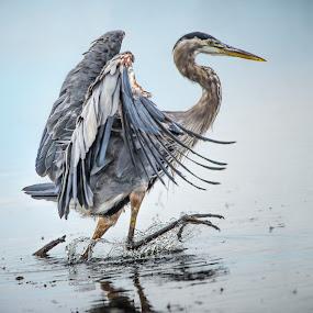 Happy Heron by Gary Davenport - Animals Birds