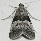 Pine Webworm Moth
