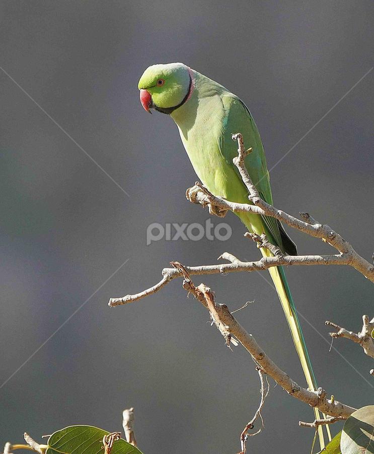 Rose Ringed Parakeet !! by Prashant Choudhary - Animals Birds (  )