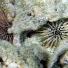Pale Rock-Boaring Urchin