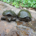 snapping and musk turtles