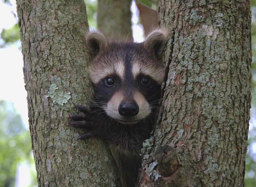 Raccoon in tree by Katelin Welles - Animals Other Mammals (  )