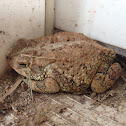 Southern Toad