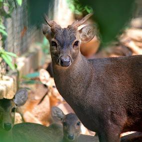 Oh deer.. by Anis Ghazalli - Animals Other Mammals