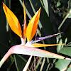 Estrelícia, Flor pássaro