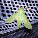 Small Verdant Hawk moth