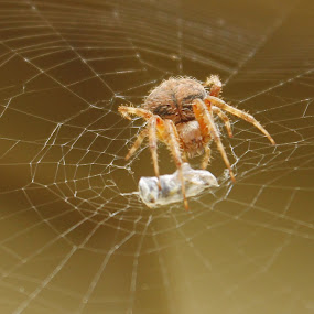 Hungry Cape May Spider by Frank Gualtieri - Animals Insects & Spiders (  )