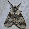 White Furcula Moth
