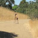 Columbian Black Tailed Deer