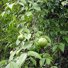 Fruta venenosa