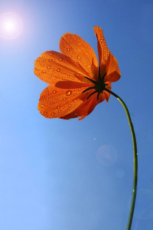 Rising up by MaSs Balasooriya - Flowers Single Flower ( orange, water drops, phone, single, dew, yellow, up, mobilography, blue sky, blue, rise, mobile photos, mobile phone, raindrops, dew drops, flowers, rain, flower, mobile, top,  )