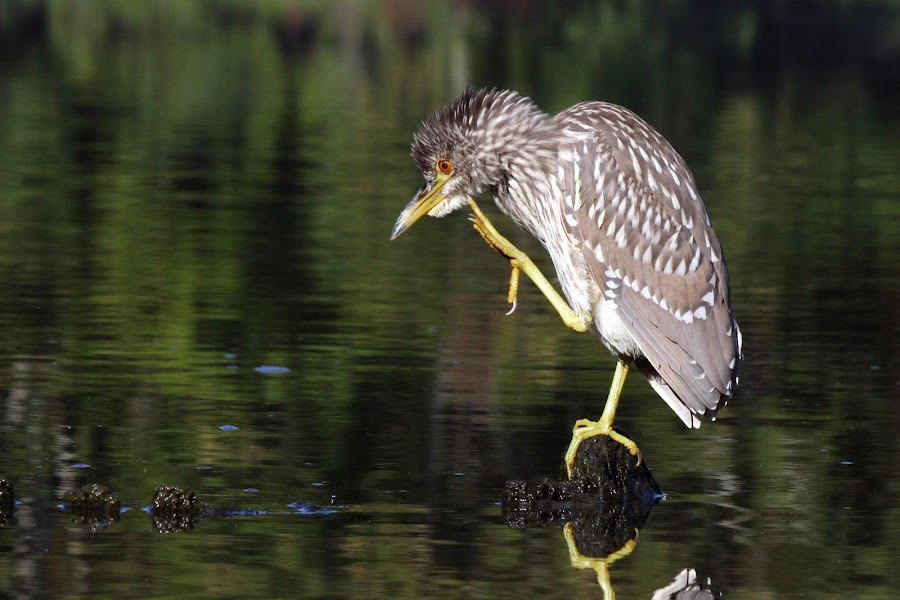 Young Black Crowned Night Heron by Dawn Cureton - Animals Birds ( water, pinchot, young baby black crowned night heron, pennsylvania, lake, close up, wader, wade, bird, nature, wings, state park, pond )