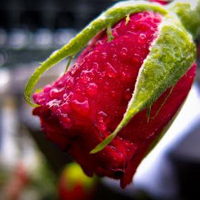 Berlin Rose, 2014 by Bianca Mauro - Flowers Single Flower ( water, rose, red, winter, color, petals, green, germany, berlin, closeup, flower, droplets,  )