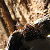 Melandryid beetle