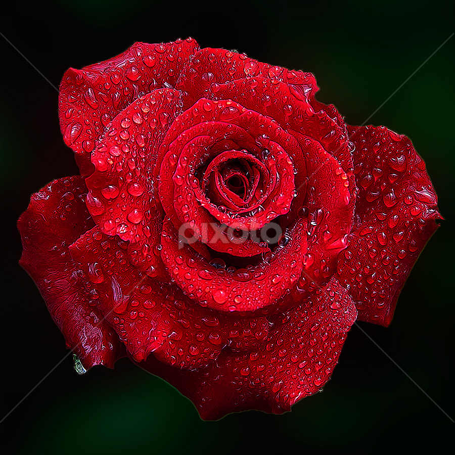 Red Roses by TEDDY ZUSMA - Nature Up Close Flowers - 2011-2013