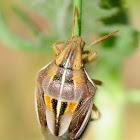 Bishop's Mitre Shieldbug; Garrapatillo de los cereales