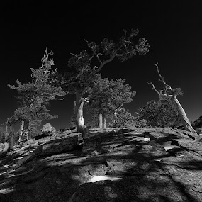 Limber Pines....RMNP...Colorado... by Johnny Gomez - Black & White Landscapes