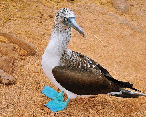 The flat terrain allows guests a close view of the blue-footed booby. About half of all breeding pairs nest on the Galápagos.
