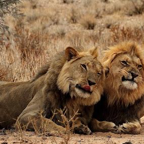 Lion brothers by Adéle van Schalkwyk - Animals Lions, Tigers & Big Cats ( predator, lion, hunter, cat, wildlife, brothers )