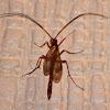 Icheneumon Wasp